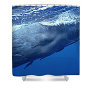 Sperm Whale With Remoras Dominica Shower Curtain