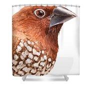 Spice Finch Lonchura Punctulata Portrait Shower Curtain