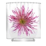 Spider Mum Flower Against White Shower Curtain
