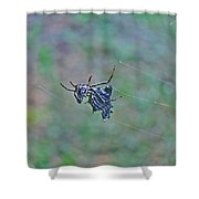 Spined Micrathena Orb Weaver Spider - Micrathena Gracilis Shower Curtain