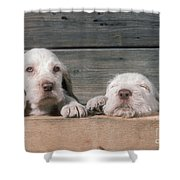 Spinone Puppies Shower Curtain