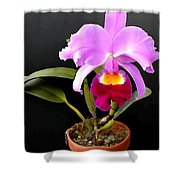 Spotlight On Purple Potted Cattleya Orchid Shower Curtain