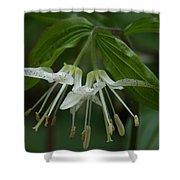 Spotted Mandrin . Disporum Maculatum Shower Curtain