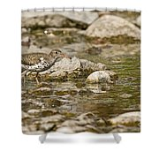 Spotted Sandpiper Pictures 36 Shower Curtain