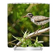 Spotted Sandpiper Pictures 48 Shower Curtain