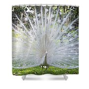 Spreading Peacock Display Shower Curtain