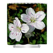 Spring Beauty Wildflowers - Claytonia Virginica Shower Curtain