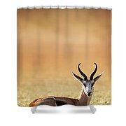 Springbok Resting On Green Desert Grass Shower Curtain