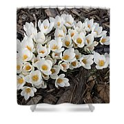 Springtime Abundance - A Bouquet Of Pure White Crocuses Shower Curtain