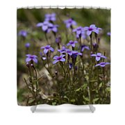 Springtime Tiny Bluet Wildflowers - Houstonia Pusilla Shower Curtain