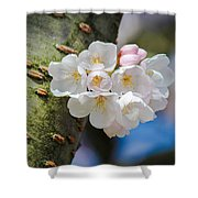Sprouting Cherry Blossoms Shower Curtain