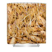 Sprouting Russian Banana Fingerling Seed Potatoes Shower Curtain