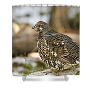 Spruce Grouse In The Snow Shower Curtain