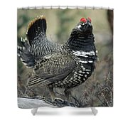 Spruce Grouse Male Courting Alaska Shower Curtain