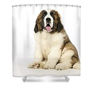 St Bernard Dog Shower Curtain