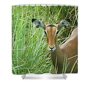 Standing In The Grass Impala Antelope  Shower Curtain