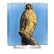 Stately Red-shouldered Hawk Shower Curtain