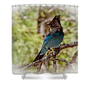 Stellar Jay Shower Curtain by Bill Gallagher