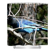 Steller's Jay - Peaking Through Branches Shower Curtain