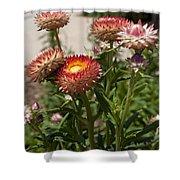 Straw Flowers Xerochrysum Bracteatum Shower Curtain