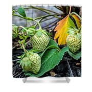 Strawberries - Soon To Be Picked Shower Curtain