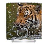 Sumatran Tiger Splashing In The Water Shower Curtain