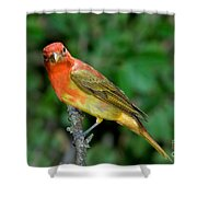 Summer Tanager Changing Color Shower Curtain