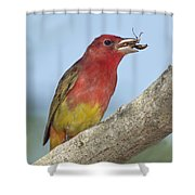 Summer Tanager Eating Wasp Shower Curtain