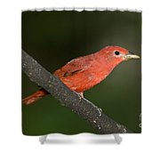 Summer Tanager Male Perched-ecuador Shower Curtain