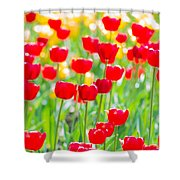 Sun Drenched Tulips - Featured 3 Shower Curtain