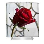 Sun Kissed Rose Shower Curtain