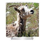 Sunbathing Mountain Sheep Shower Curtain