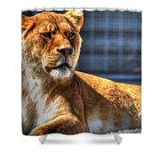 Sunbathing Lioness  Shower Curtain