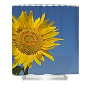 Sunflower, Helianthus Annuus Shower Curtain