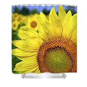 Sunflower In Field Shower Curtain by Elena Elisseeva