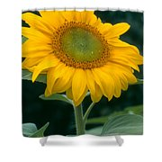Sunflower In Seattle Shower Curtain