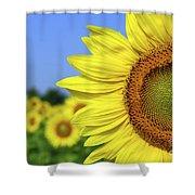 Sunflower In Sunflower Field Shower Curtain by Elena Elisseeva