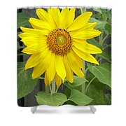 Sunflower Shower Curtain by Lisa Phillips