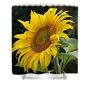 Sunflower Looking To The Sky Shower Curtain