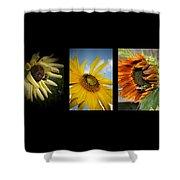 Sunflower Trio  Shower Curtain