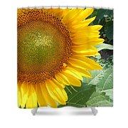 Sunflowers #2 Shower Curtain