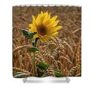 Sunflowers At Corny Shower Curtain