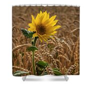 Sunflowers At Corny Shower Curtain