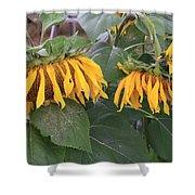 Sunflowers Faded Bloom Series - Image--sfwbix Shower Curtain