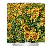 Sunflowers Helianthus Annuus Growing Shower Curtain