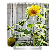 Sunflowers In The Window Shower Curtain