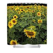 Sunflowers Panorama Shower Curtain