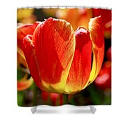 Sunlit Tulips Shower Curtain by Rona Black
