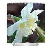 Sunlit White Daffodil Shower Curtain