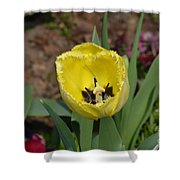 Sunny Yellow Tulips Series  Picture D Shower Curtain